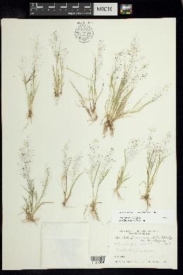 Image of Sporobolus tenuissimus