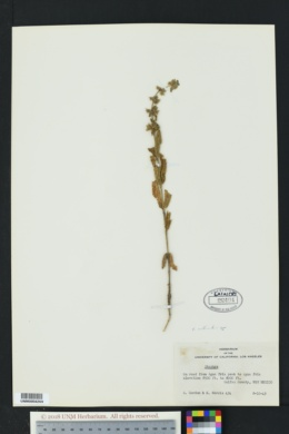 Stachys rothrockii image