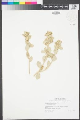 Image of Atriplex leucophylla