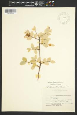 Symphoricarpos rotundifolius var. parishii image