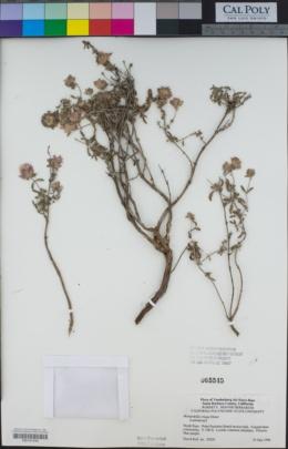 Monardella crispa image
