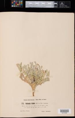 Halimeda tridens image