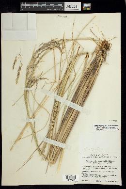 Image of Calamagrostis erectifolia