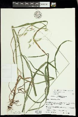 Bromus nottowayanus image