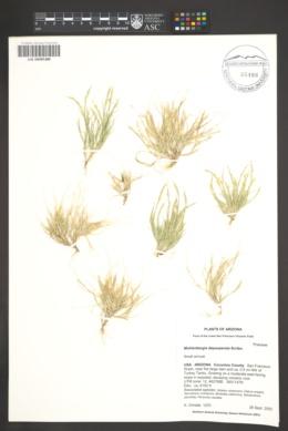 Muhlenbergia depauperata image