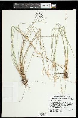 Carex multicaulis image
