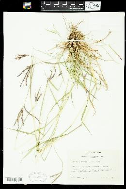 Dichanthelium nodatum image