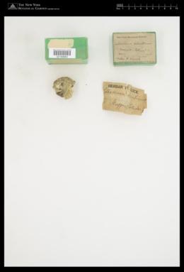 Pseudolithoderma adriaticum image