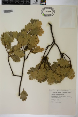 Image of Quercus breweri