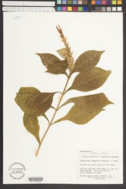 Aphelandra deppeana image