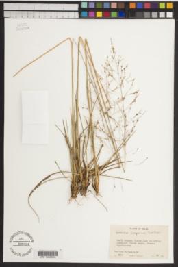 Image of Sporobolus camporum