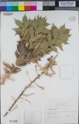 Ambrosia ilicifolia image