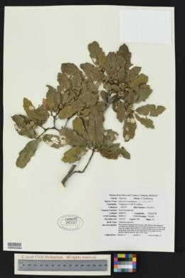 Image of Quercus carmenensis