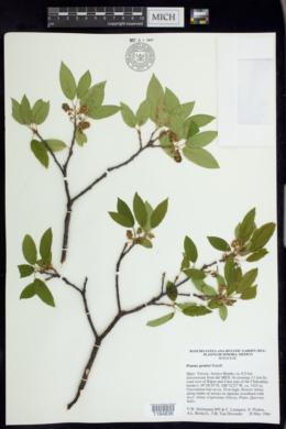 Image of Prunus gentryi