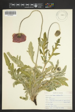 Image of Papaver atlanticum