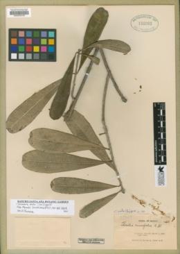 Image of Cascabela ovata
