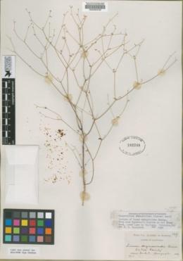 Image of Linum drymarioides