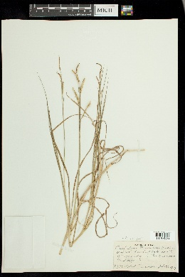 Image of Paspalum wrightii