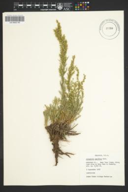 Artemisia campestris subsp. pacifica image