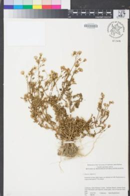 Image of Senecio vulgaris