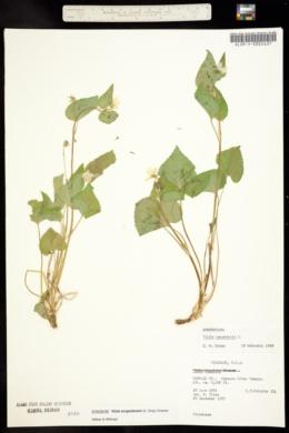 Image of Viola scopulorum