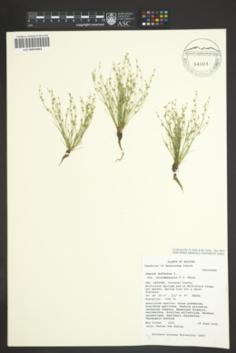 Juncus bufonius var. occidentalis image