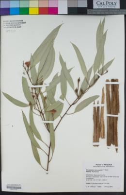 Eucalyptus leucoxylon image