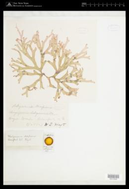 Halymenia elongata var. decipiens image