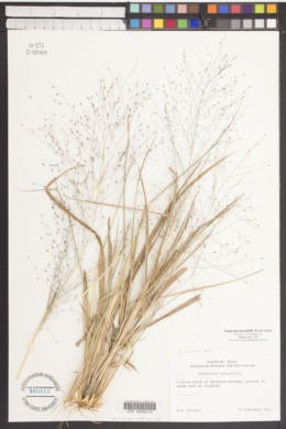 Eragrostis obtusiflora image