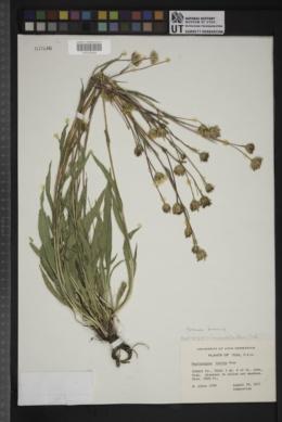 Pyrrocoma lanceolata image