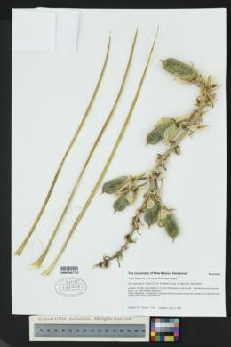 Yucca baileyi var. intermedia image