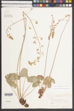 Heuchera parvifolia var. utahensis image
