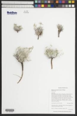 Image of Physaria eriocarpa