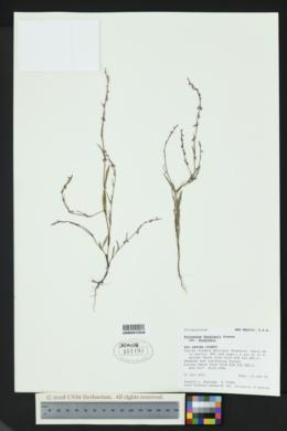 Polygonum douglasii subsp. douglasii image