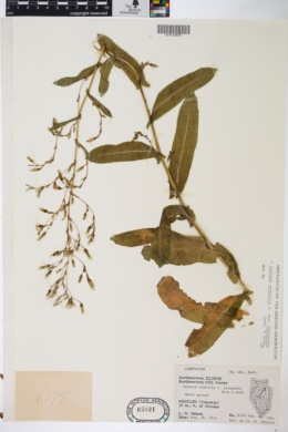 Lactuca serriola var. integrata image