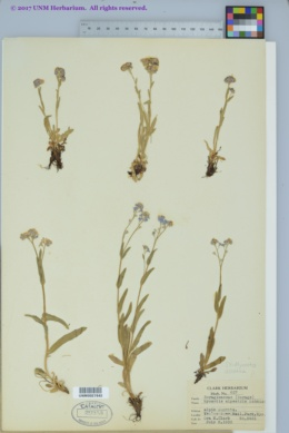 Image of Myosotis asiatica