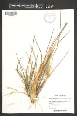 Andropogon glomeratus var. scabriglumis image
