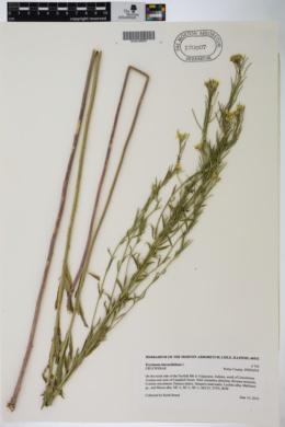 Erysimum hieraciifolium image