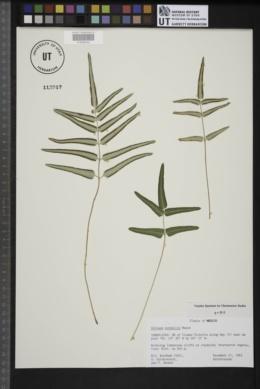 Image of Pellaea notabilis