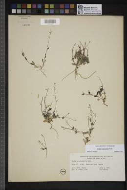 Draba brachystylis image