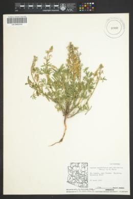 Lupinus arizonicus var. arizonicus image