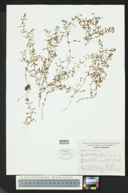 Image of Anagallis pumila