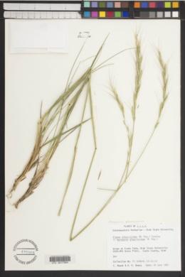 Image of Elymus glaucissimus