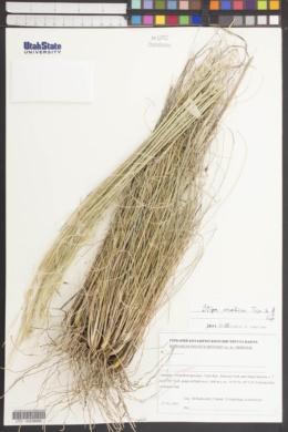 Image of Stipa arabica