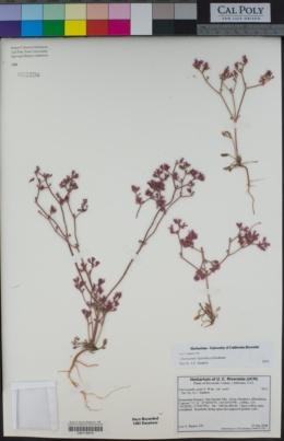 Chorizanthe leptotheca image
