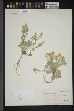 Physaria acutifolia image
