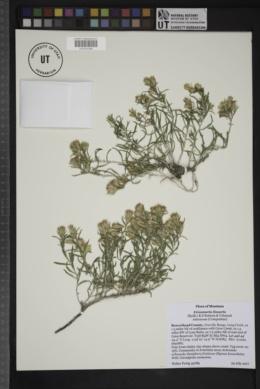 Image of Ericameria linearis