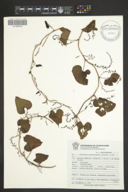 Dioscorea convolvulacea image