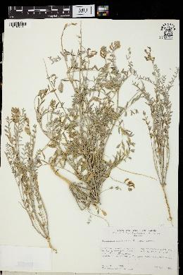 Image of Astragalus piscinus