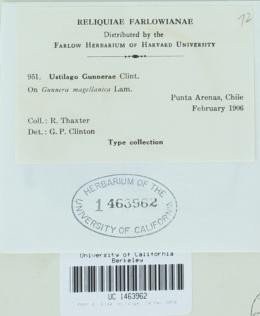 Image of Ustilago gunnerae